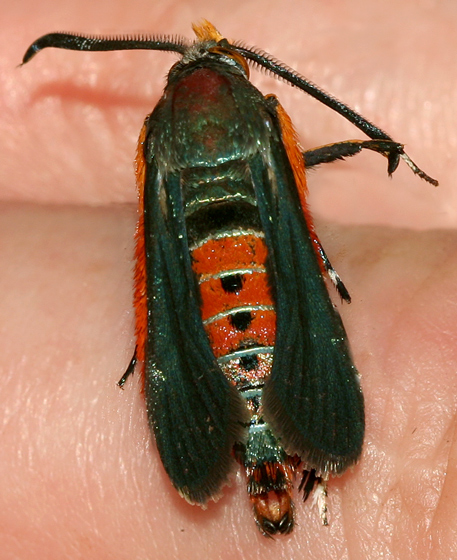 Black and Red Moth - Melittia cucurbitae