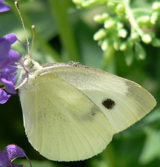 Cabbage White - Pieris rapae - female