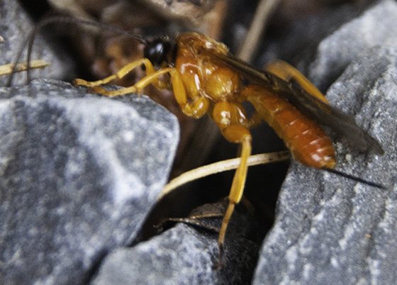 orange Ichneumon wasp? - Theronia hilaris - female
