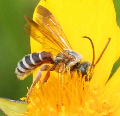 Bee - Dieunomia nevadensis - male