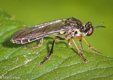 Ichneumon or Braconid? - Dioctria hyalipennis