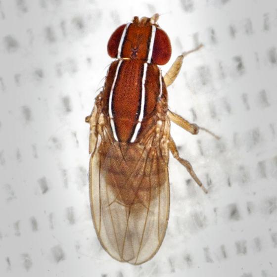Vinegar Fly - Zaprionus indianus