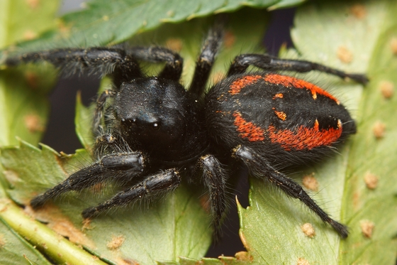 Black jumping spider with red dot - photo#10