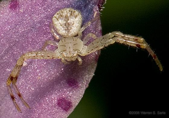 Crab spider? - Mecaphesa
