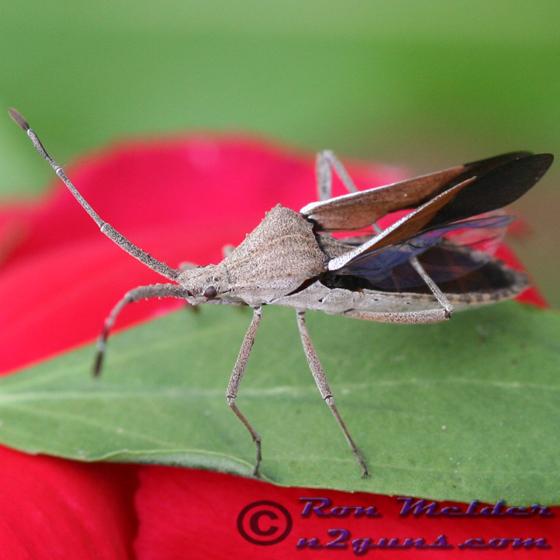 Euphorbia Bug 01 - Chariesterus antennator