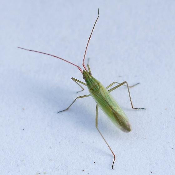 bug - Trigonotylus caelestialium