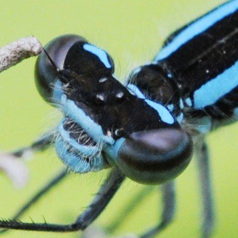 Damselfly - Enallagma laterale - male