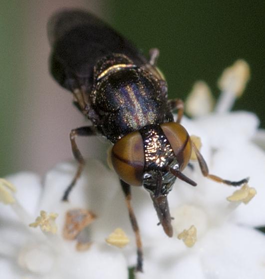 Syrphid Fly - Orthonevra pulchella