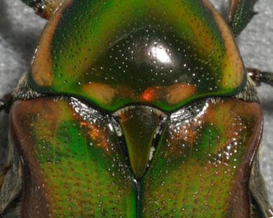 Emerald Euphoria - Euphoria fulgida