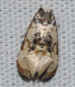 Phalonidia memoranda