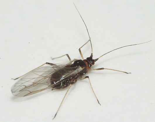 Winged Aphid - Myzus persicae