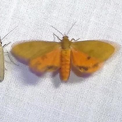 ID Request - Virbia rubicundaria