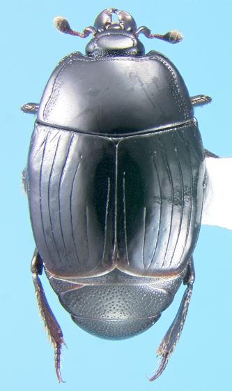 Histerid - Margarinotus confusus