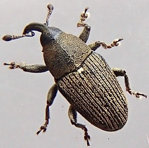 Baridinae? - Odontocorynus falsus