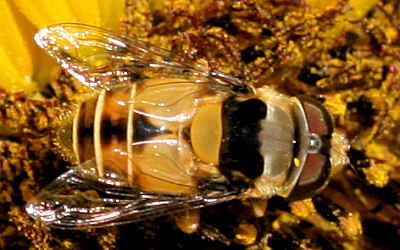 Syrphidae - Palpada sp.? - Palpada pusilla