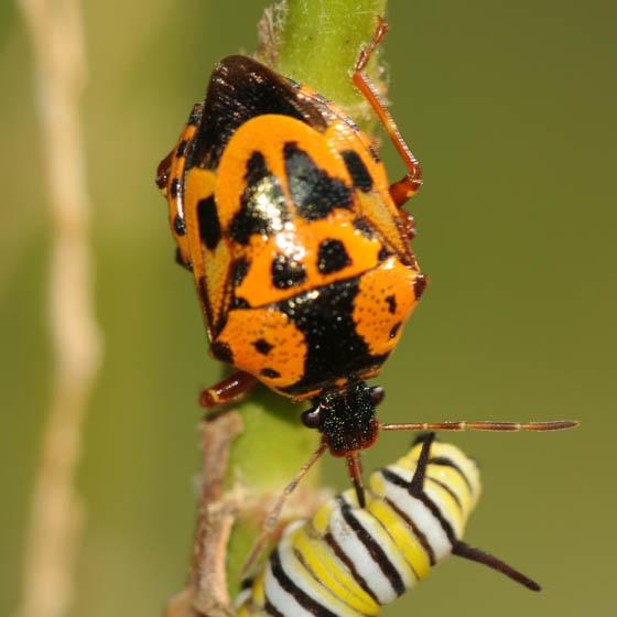 Orange and Black beetle - Stiretrus anchorago