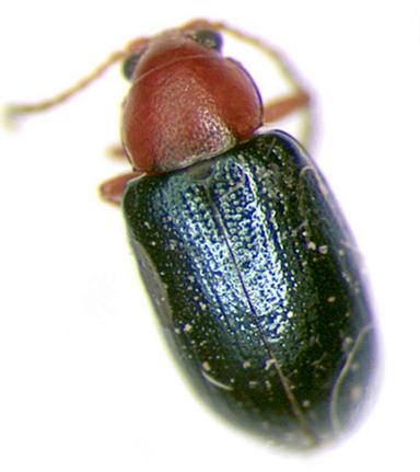 Chrysomelidae - Glyptina texana