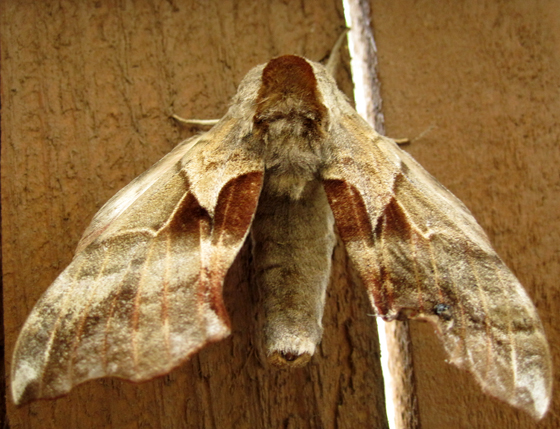 Moth, large, body