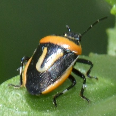 Two-spotted Stink Bug? - Perillus exaptus