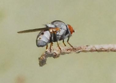 Tiny fly on cactus needs ID - Leucopis bellula