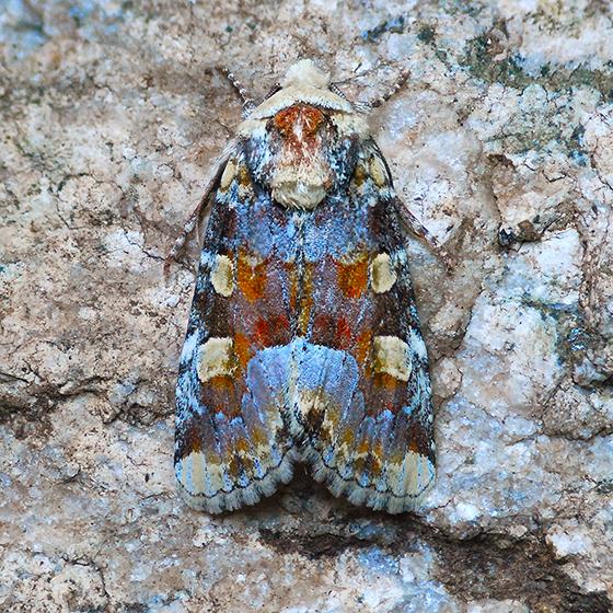 Moth - Oligia violacea