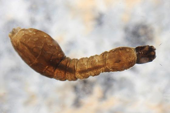Black Fly larva - Prosimulium mixtum