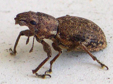 Weevil? - Naupactus cervinus
