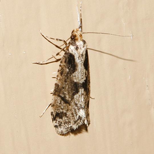 Morophagoides burkerella