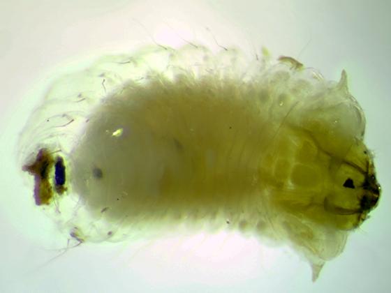Bruchidae or Anthribidae larva