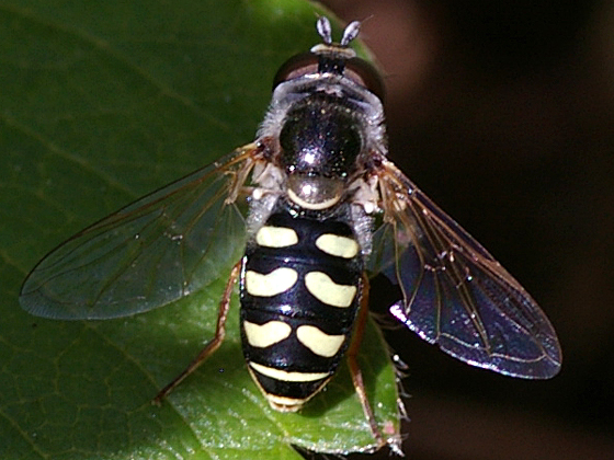 Bird Hover Fly - Eupeodes volucris - female