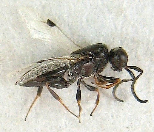 Small Wasp - Trichosteresis glabra - female