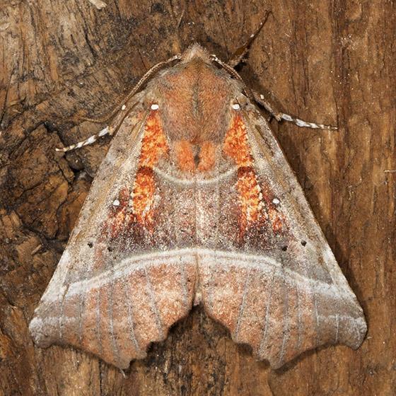 The Herald - Hodges#8555 - Scoliopteryx libatrix