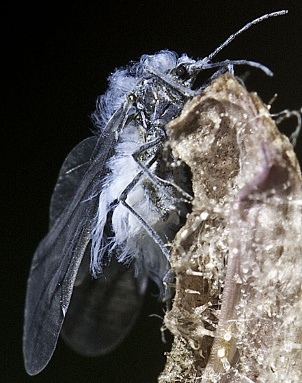 Fluffy insect