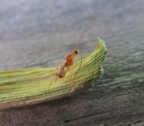 Eggs? What is this bug? - Meteorus