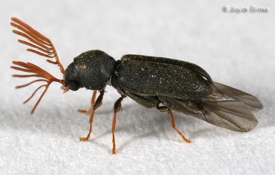 death-watch beetle - Ptilinus ruficornis - male