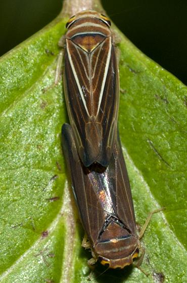 Leafhoppers mating - Idiodonus kennecottii - male - female