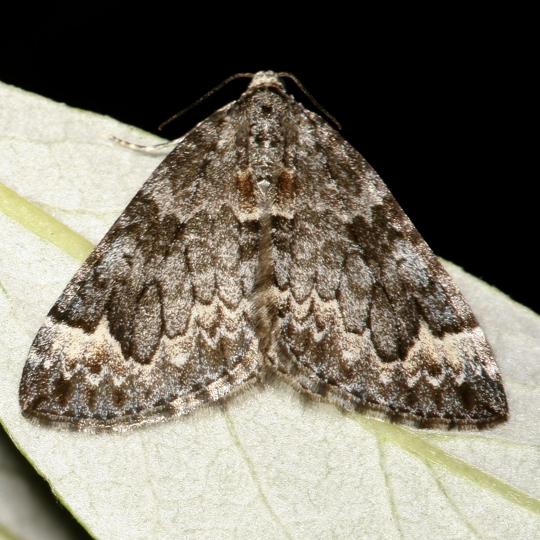 Marbled Carpet - Dysstroma truncata