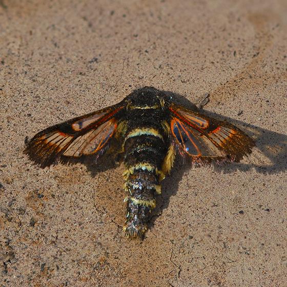 Fireweed Clearwing Moth - Albuna pyramidalis - female