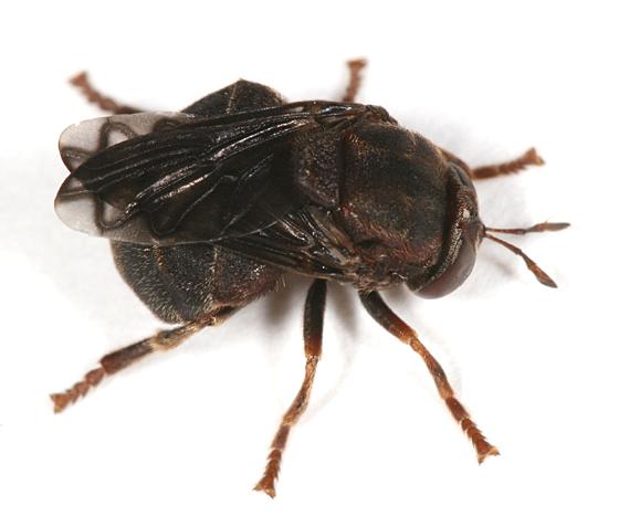 odd fly - Microdon abditus