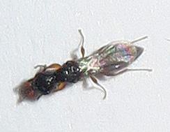 Hymenoptera - unidentified