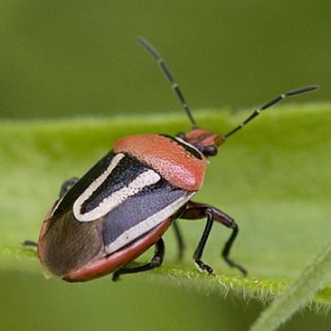 Predatory Stink Bug - Perillus exaptus