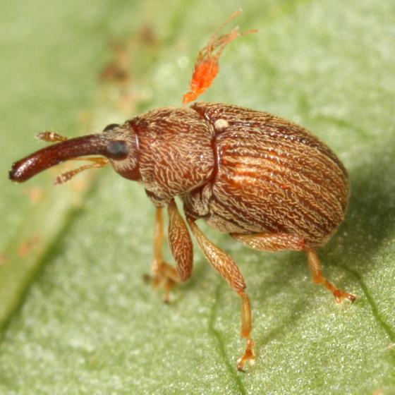 Weevil with mite - Pseudanthonomus validus