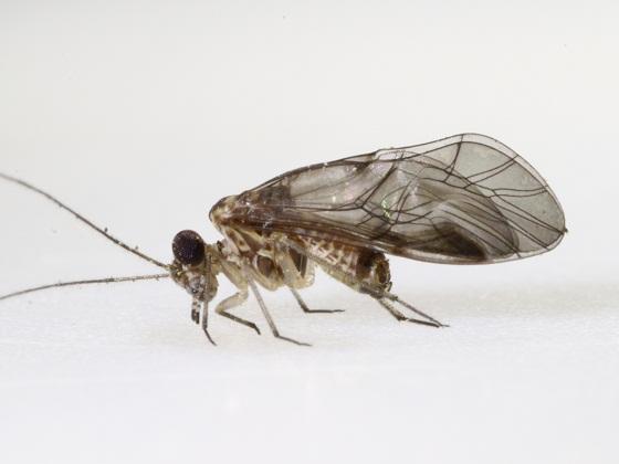 Indiopsocus infumatus (Banks) - Indiopsocus infumatus - male