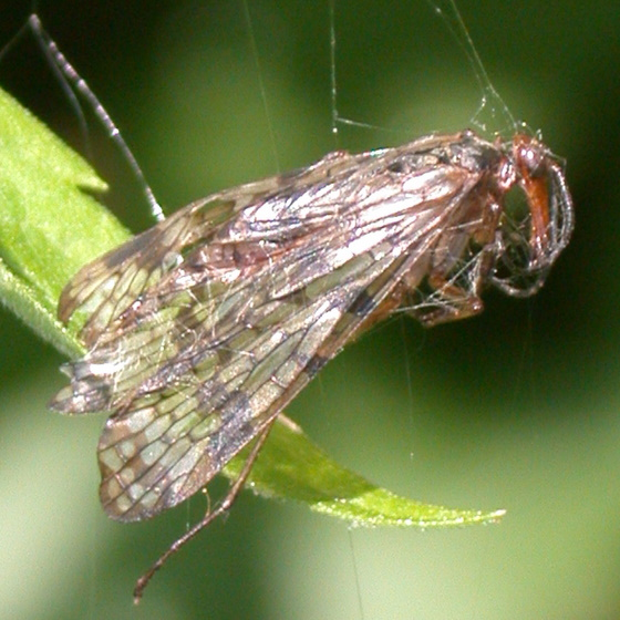 Scorpionfly in spider web - Panorpa
