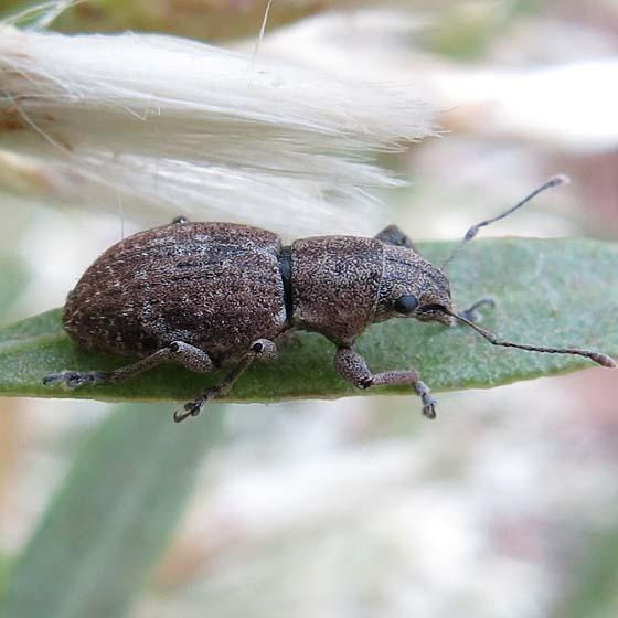 weevil on Baccharis - Naupactus cervinus