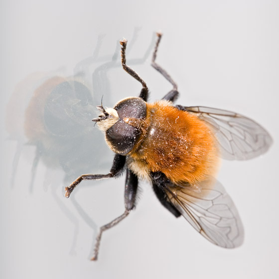 Syrphid Fly? - Merodon equestris - male