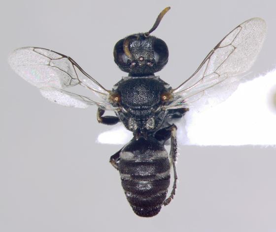 Crabroninae, Square-headed Wasp, Oxybelus - dorsal - Oxybelus