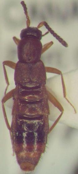 Staphylinidae 73 - Drusilla canaliculata