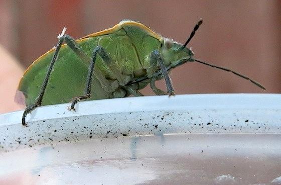 Green stink bug - Chlorochroa sayi
