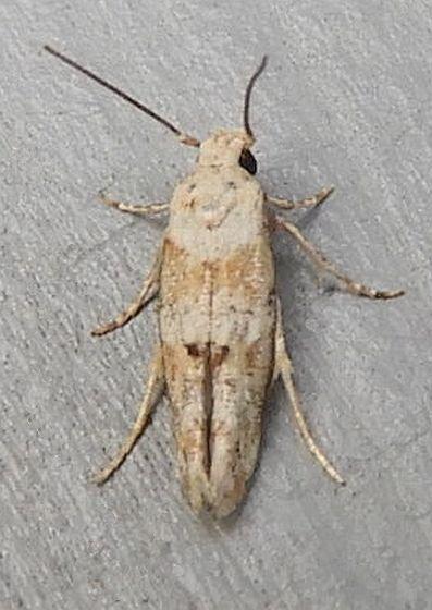 Pennsylvania Moth - Mompha rufocristatella